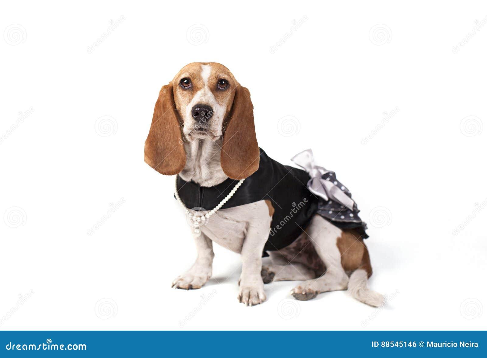 Geklede omhoog Basset Hond hoog-Sleutel