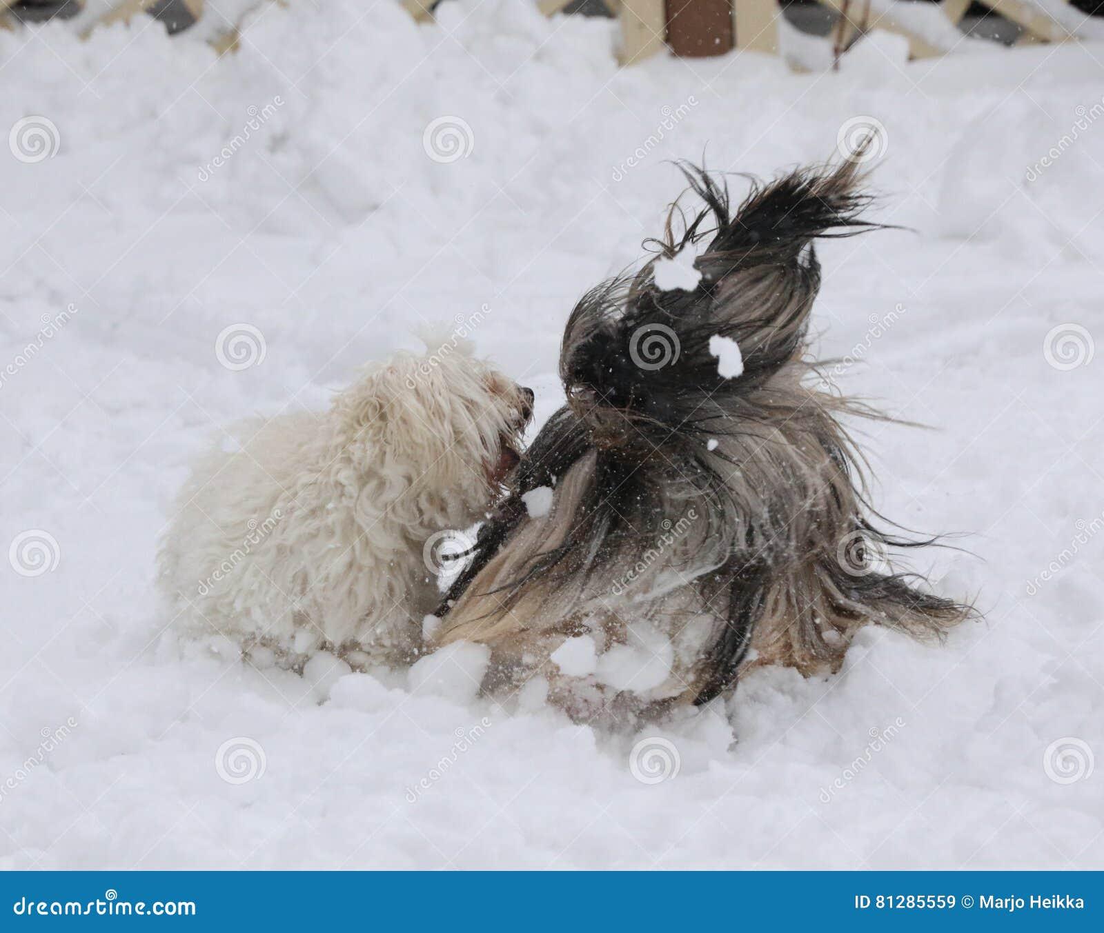 Geknipte Havanese en lhasaapso het spelen in sneeuw