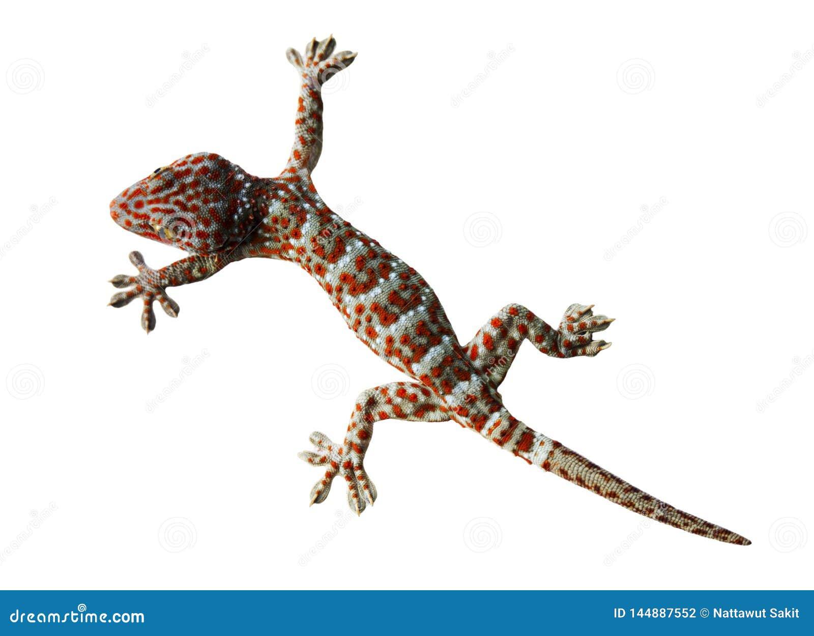 Gekon odizolowywający na białym tle