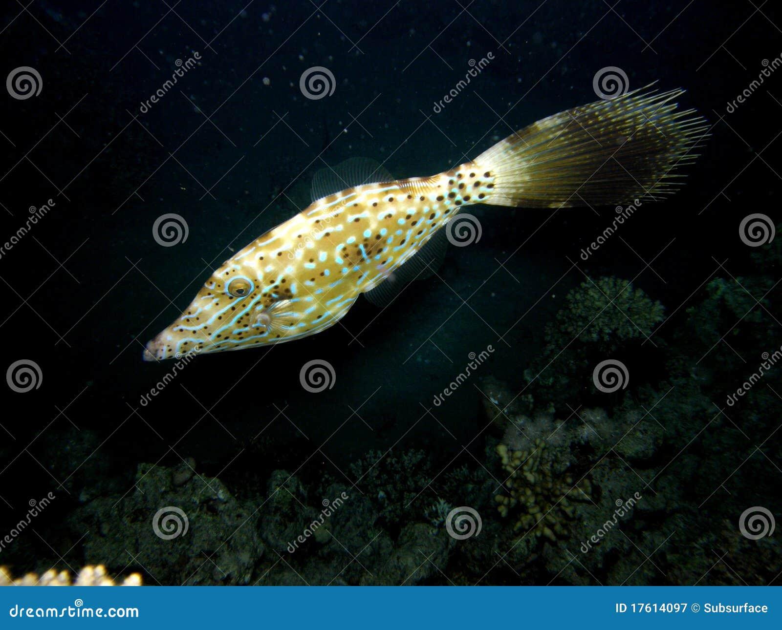 Gekritzelter Filefish auf Korallenriff nachts