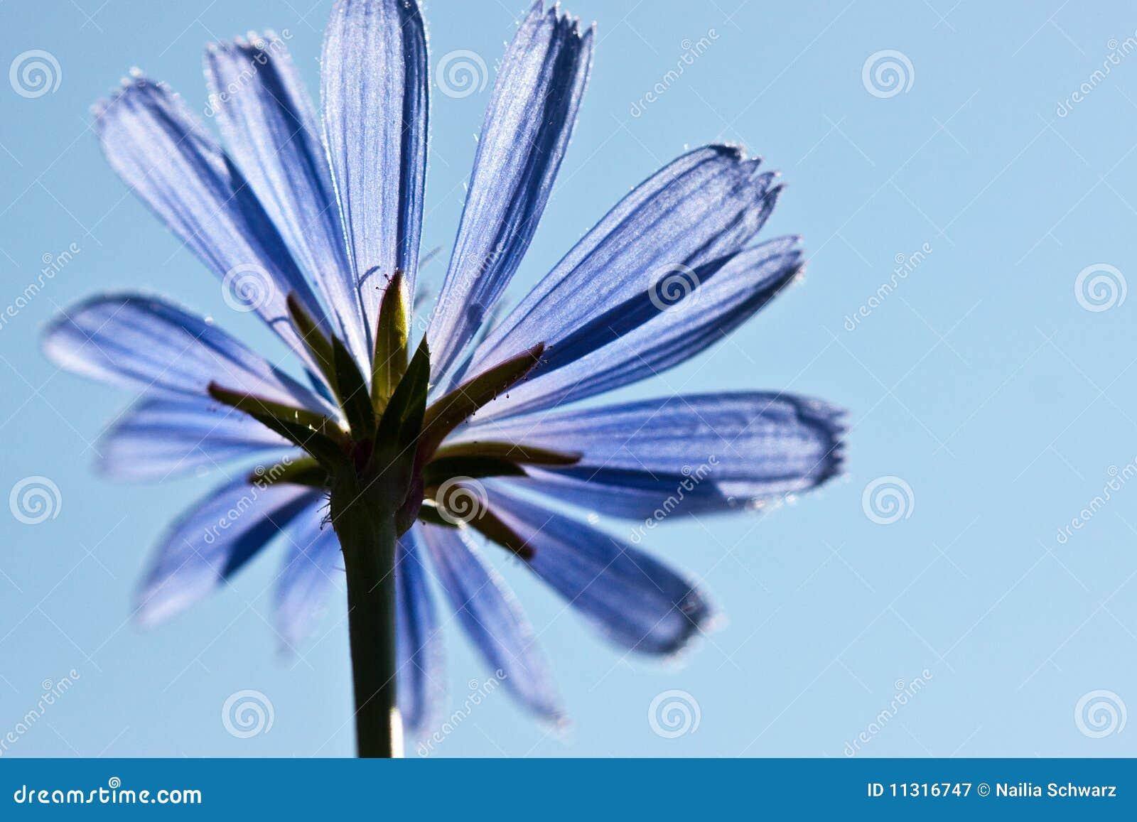 Geläufige Zichorieblume, Cichorium intybus
