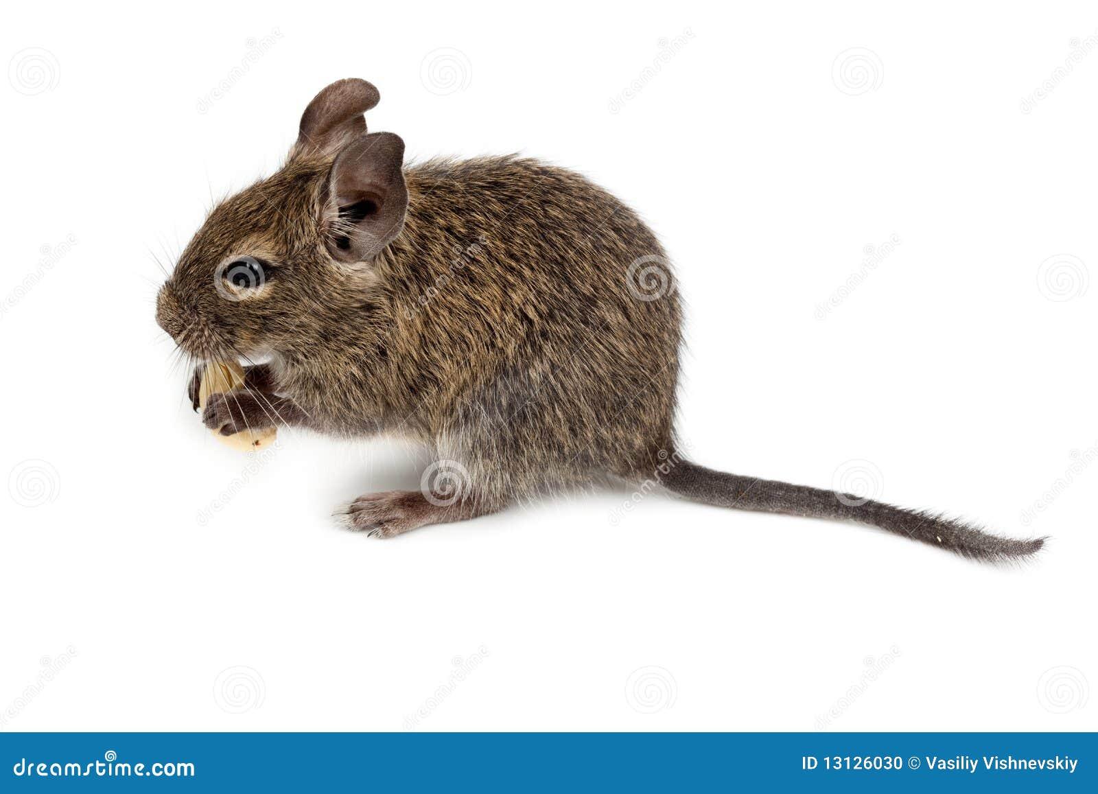 Geläufiges Degu, Auftragen-Angebundene Ratte, Octodon Degus