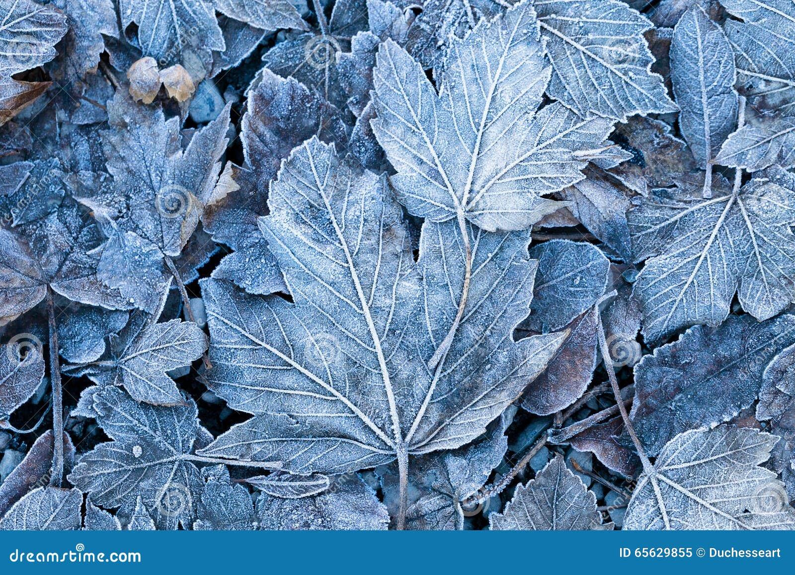 Gelée sur les feuilles, plan rapproché