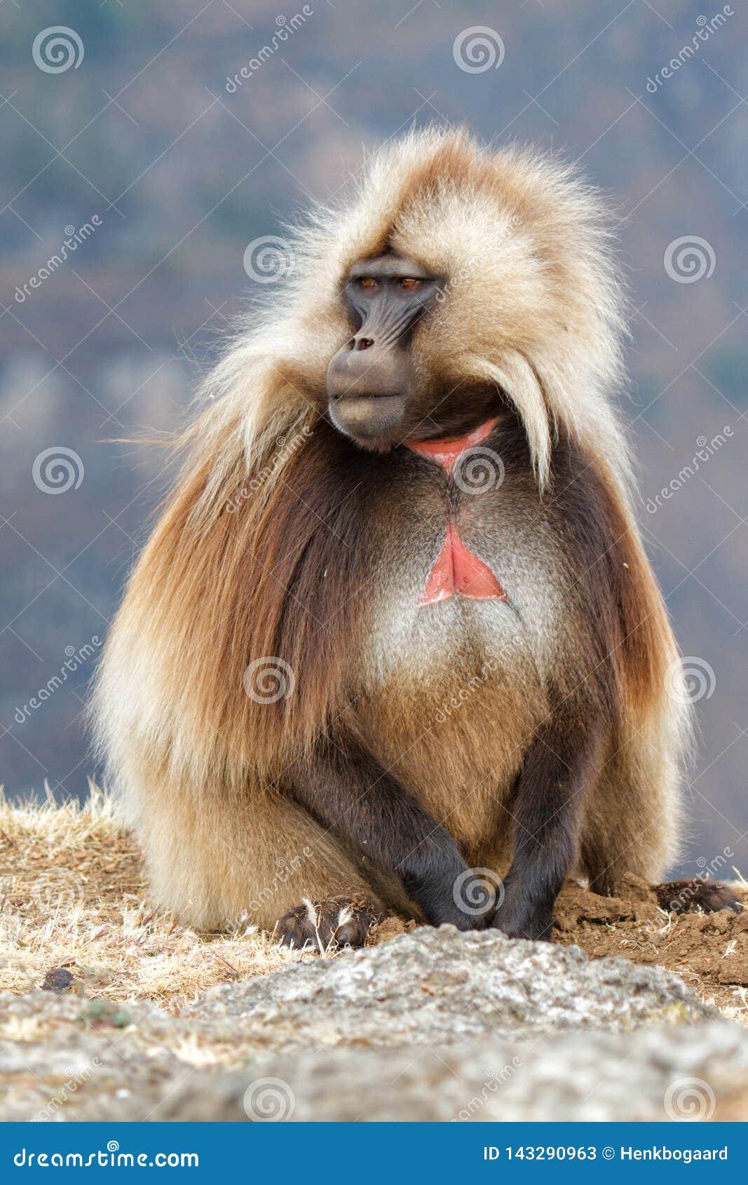 Gelada狒狒在西米昂山在埃塞俄比亚