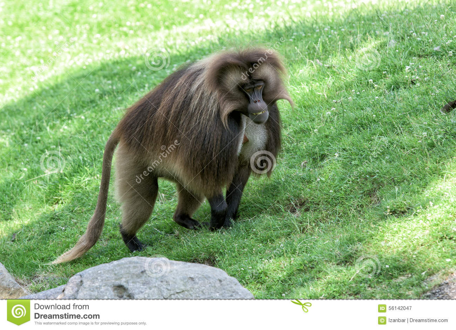 Gelada狒狒猴子猿画象