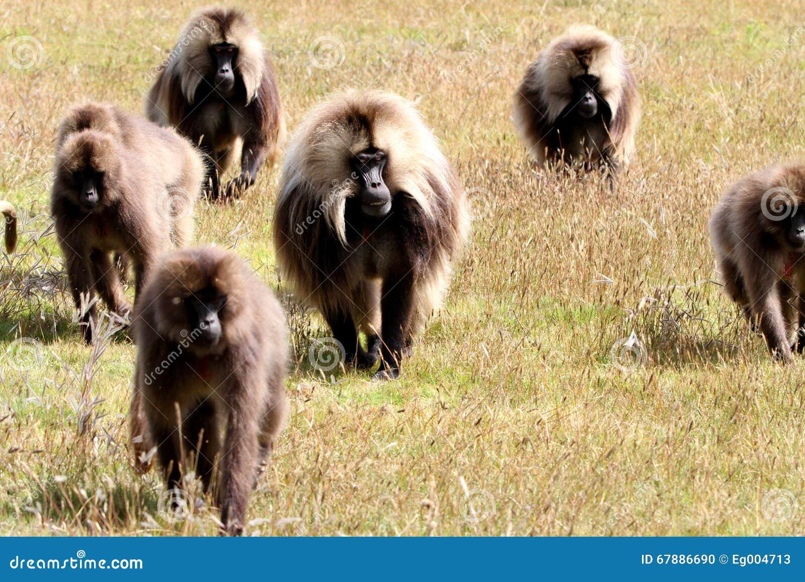 Gelada狒狒