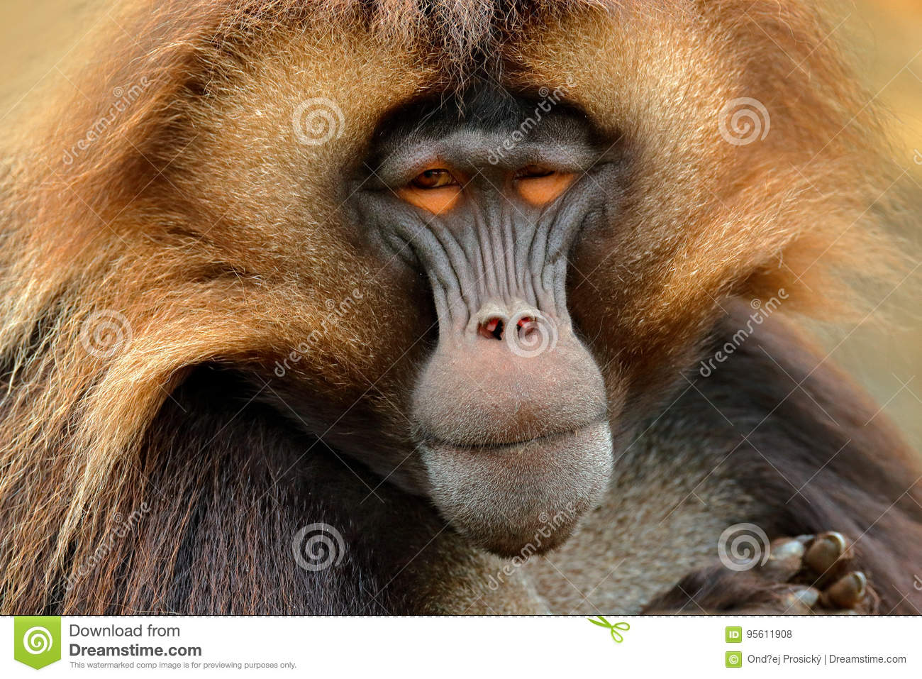 Gelada Baboon with open muzzle with tooths. Portrait of monkey from African mountain. Simien mountain with gelada monkey. Big monk