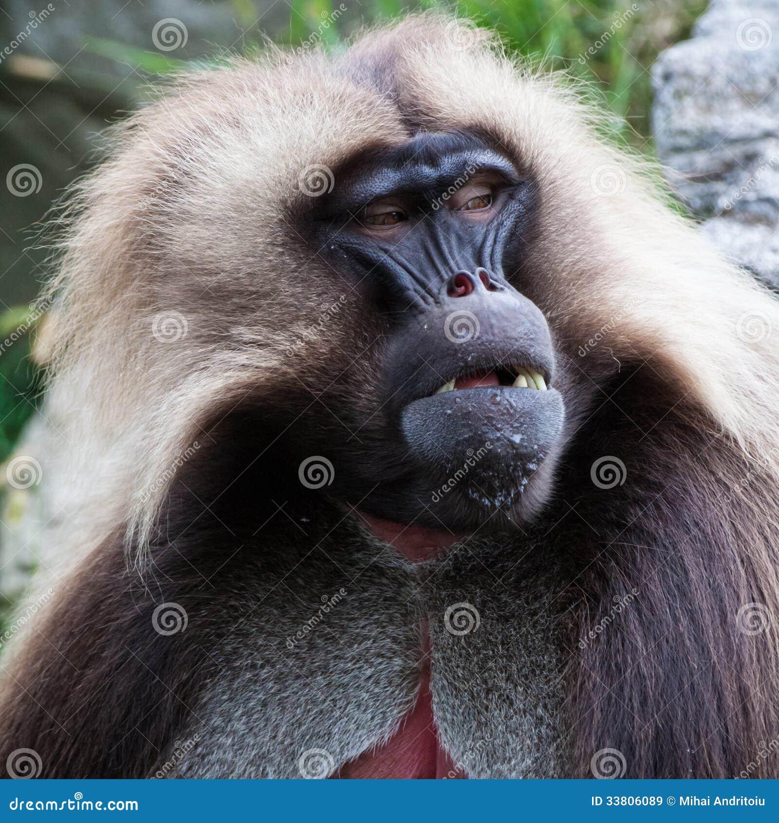 Gelada Baboon portrait