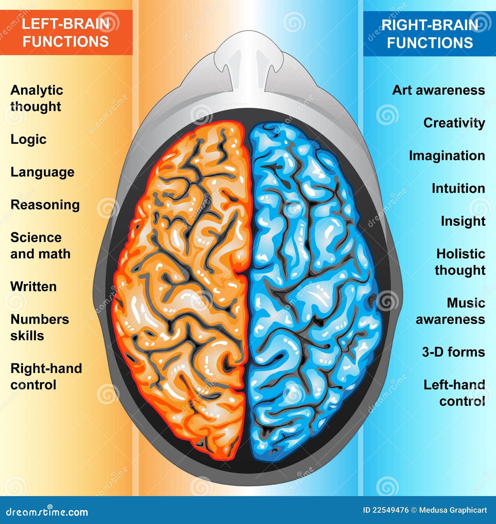 Gelassene Und Rechte Funktionen Des Menschlichen Gehirns Stock ...