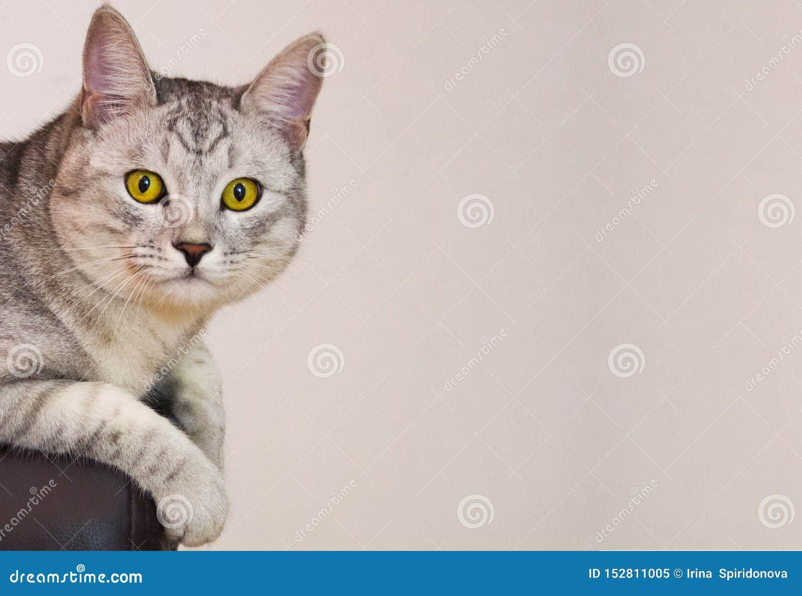 Gelb-äugige Katze, die auf der Couch sitzt