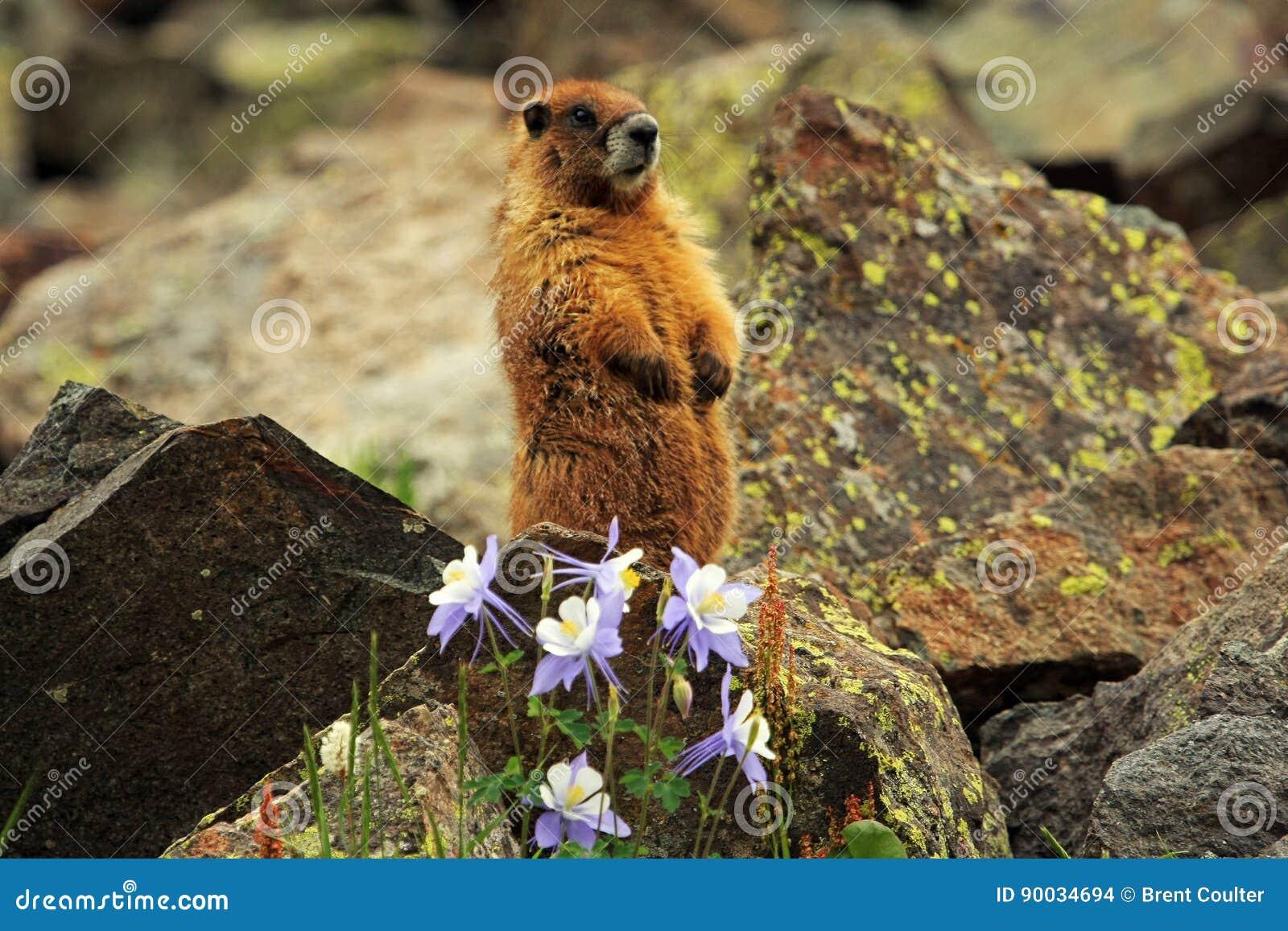 Gelb-aufgeblähtes Murmeltier in Rocky Mountains in Colorado