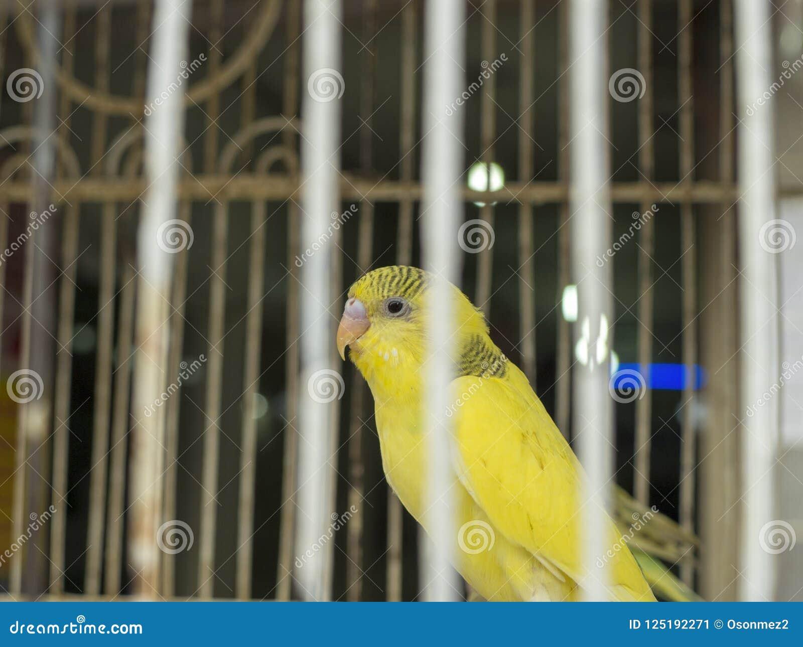 Gelb-farbiger Wellensittich im Käfig, der unter dem Käfig erscheint, bindet an
