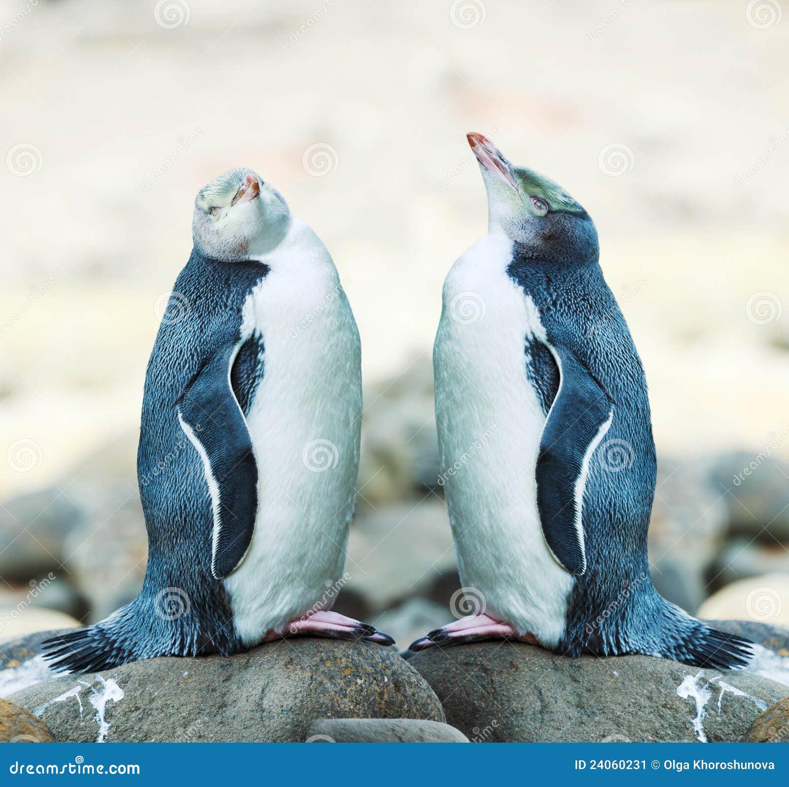 Gelb-gemusterte Pinguine