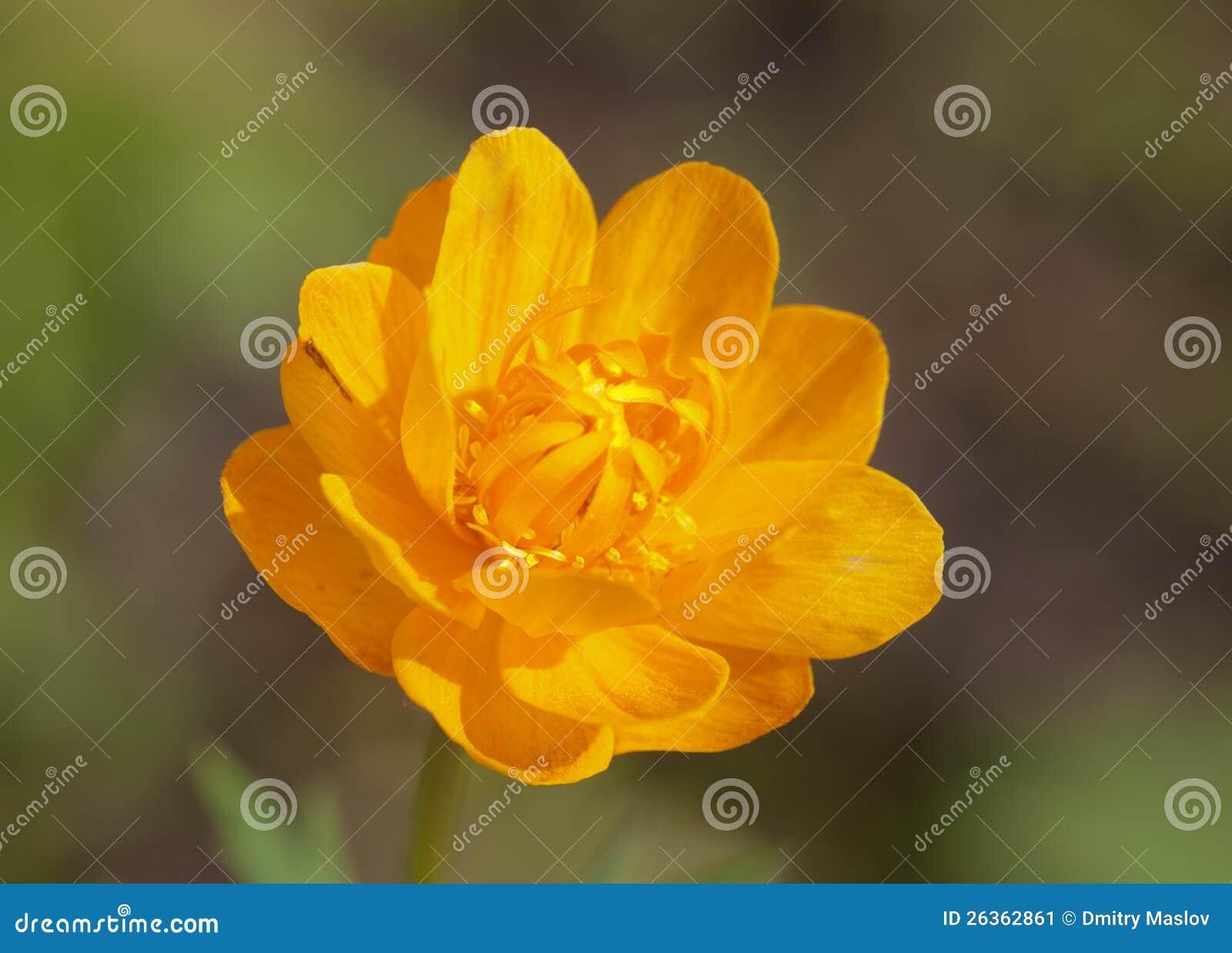 Gelb-orangee Blume