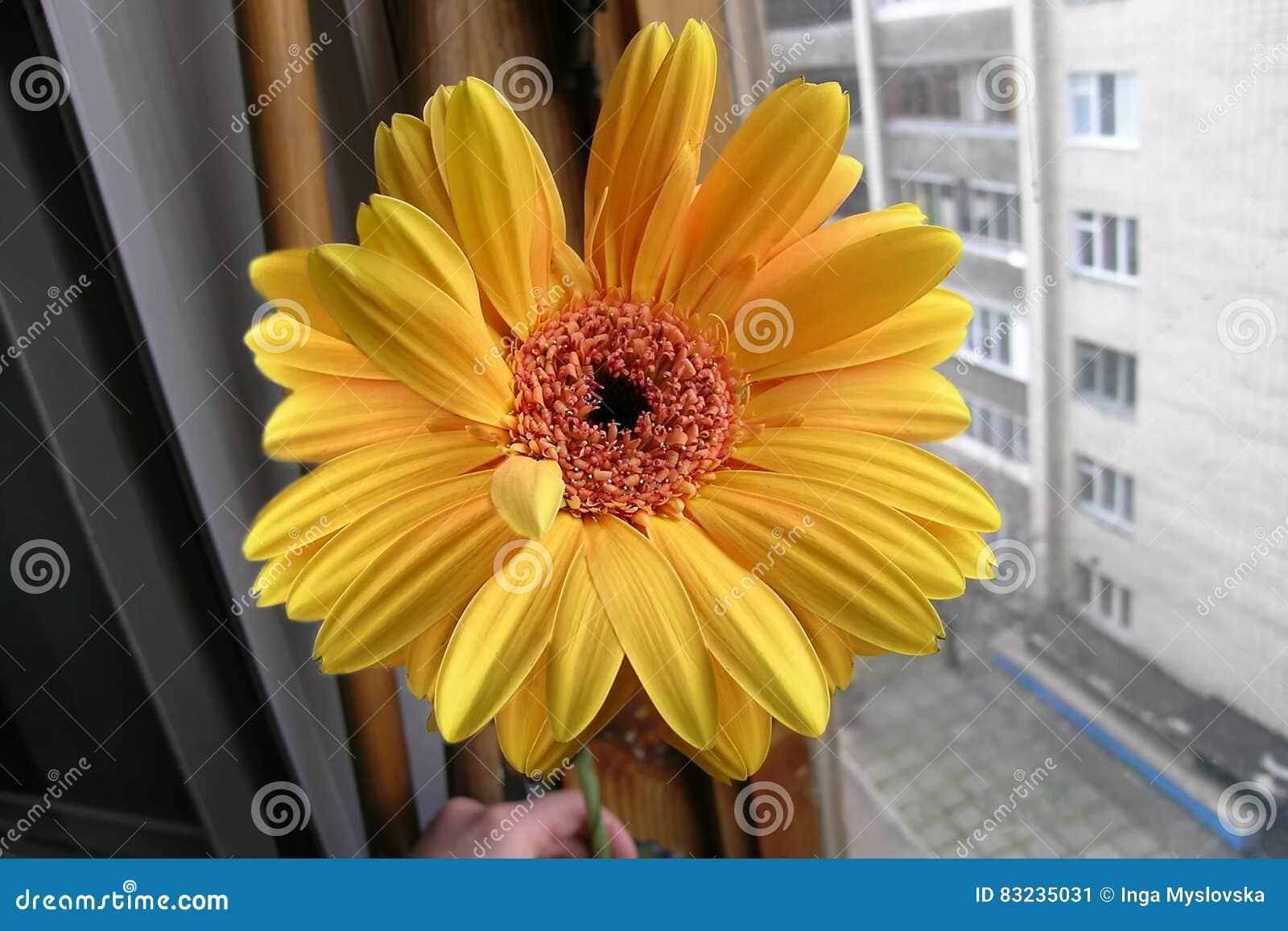 Gelb-orangeer Gerbera am Fenster