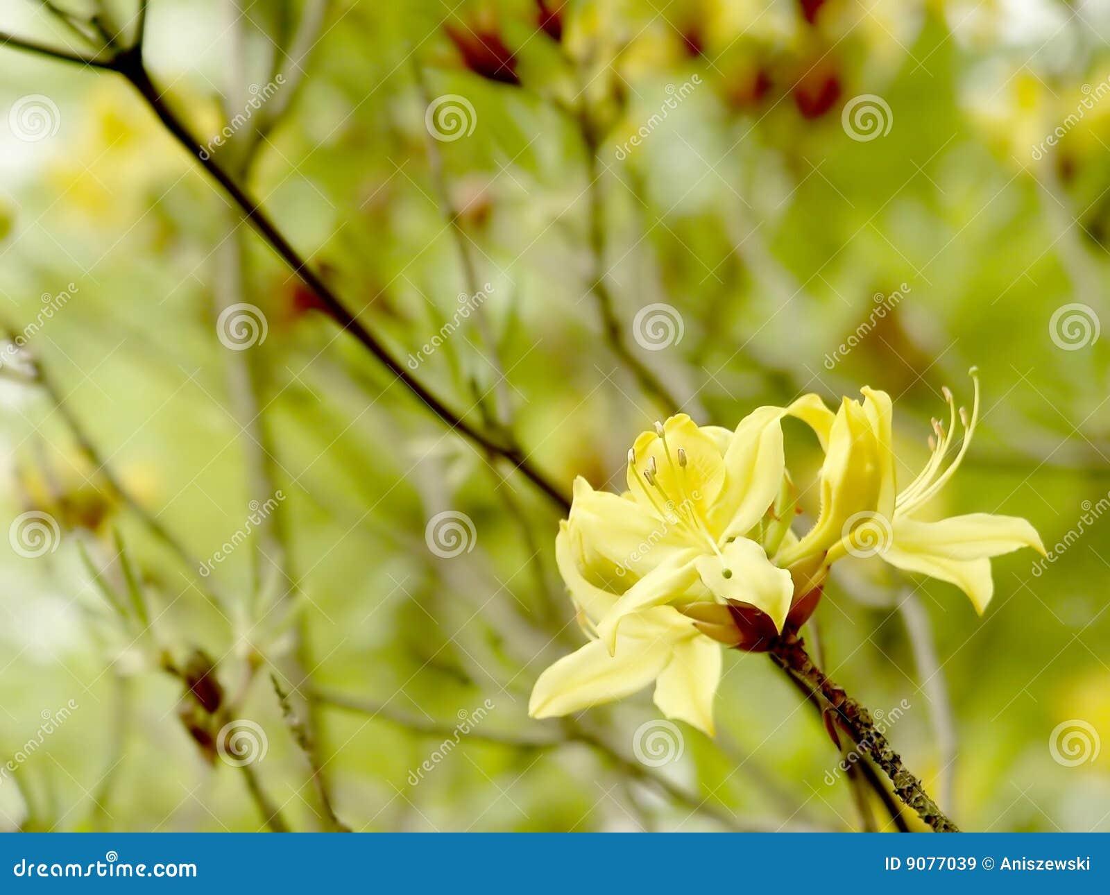 Gelbe Azalee im botanischen Garten