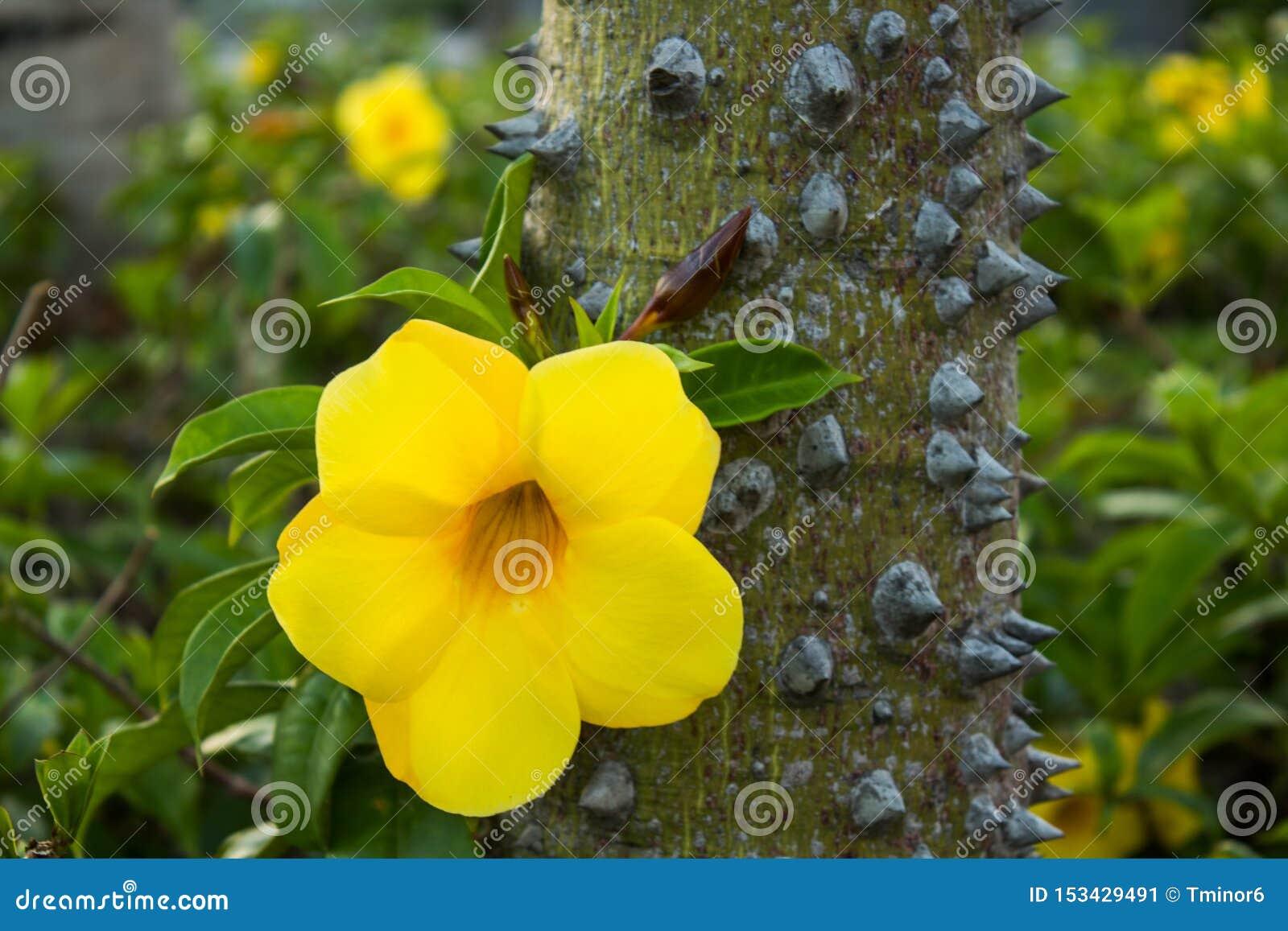 Gelbe Blume auf einem Baum mit den Dornen