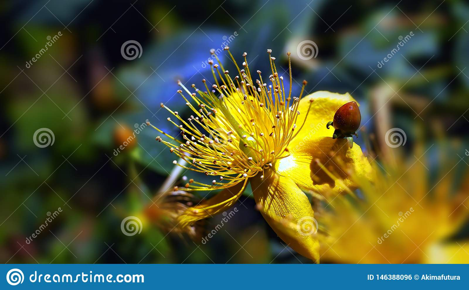 Gelbe Blume der Nahaufnahme mit den Staubgefässen in der Mitte und in den glänzenden kleinen Blättern herum