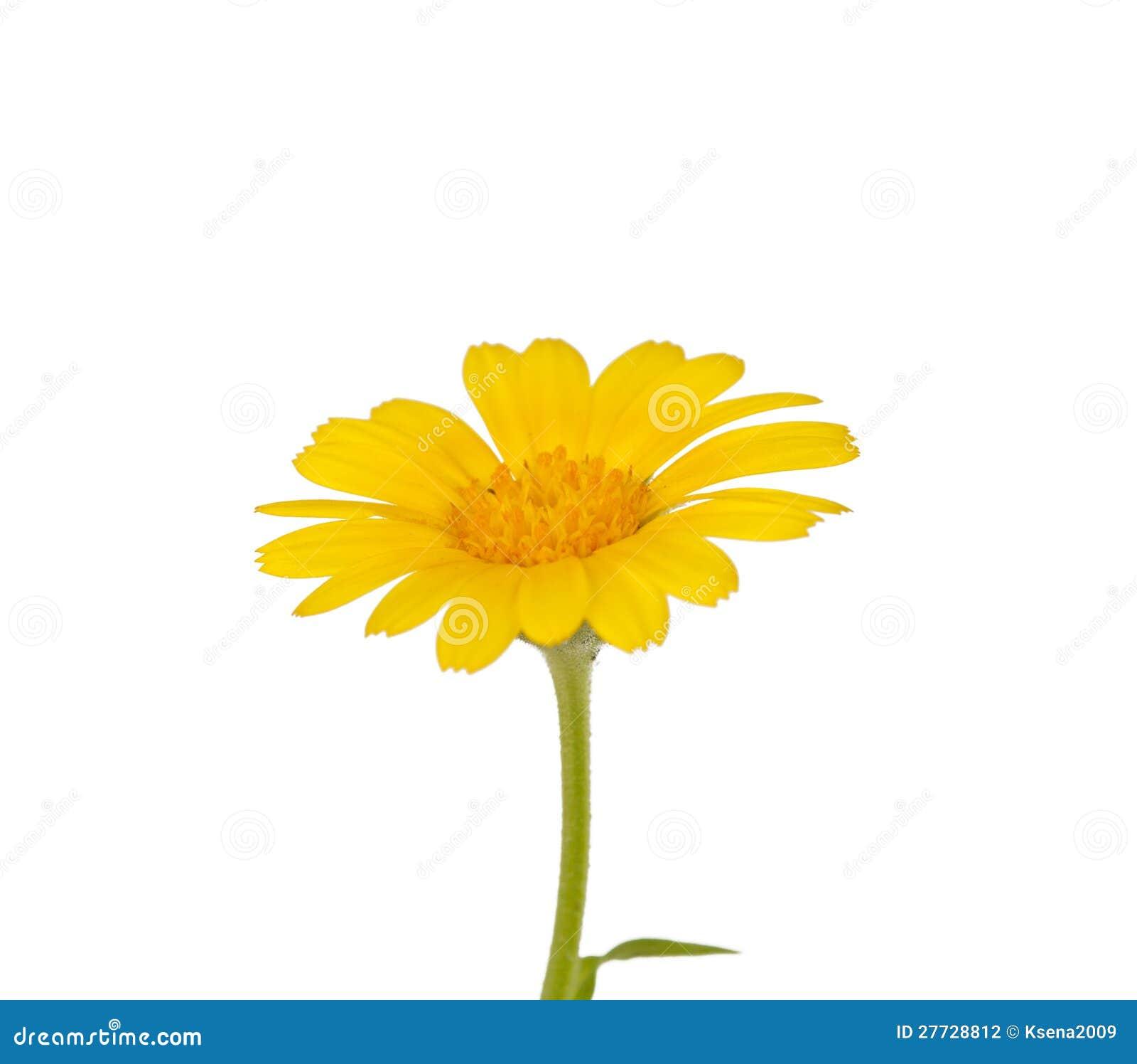 Gelbe Blume der Wiese