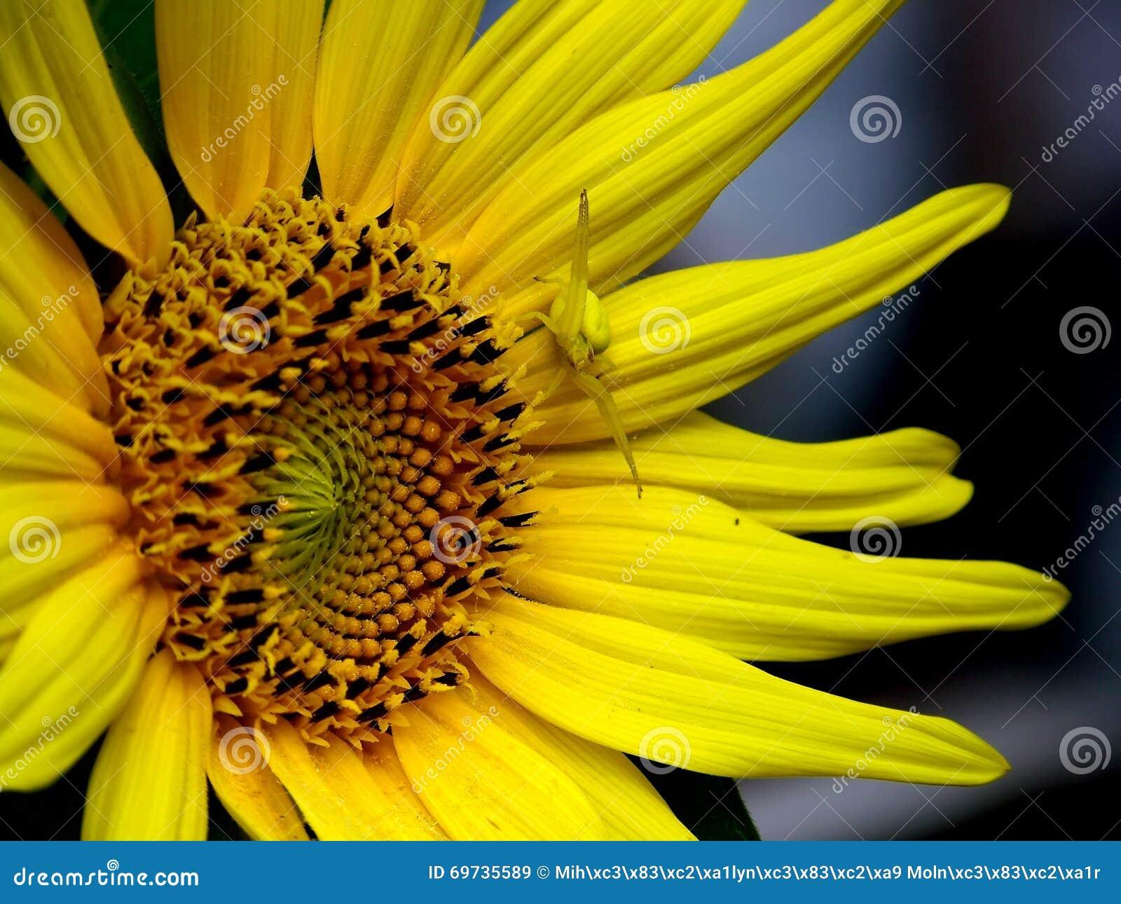 gelbe blume gelbe spinne stockbild bild von d0 threaten. Black Bedroom Furniture Sets. Home Design Ideas