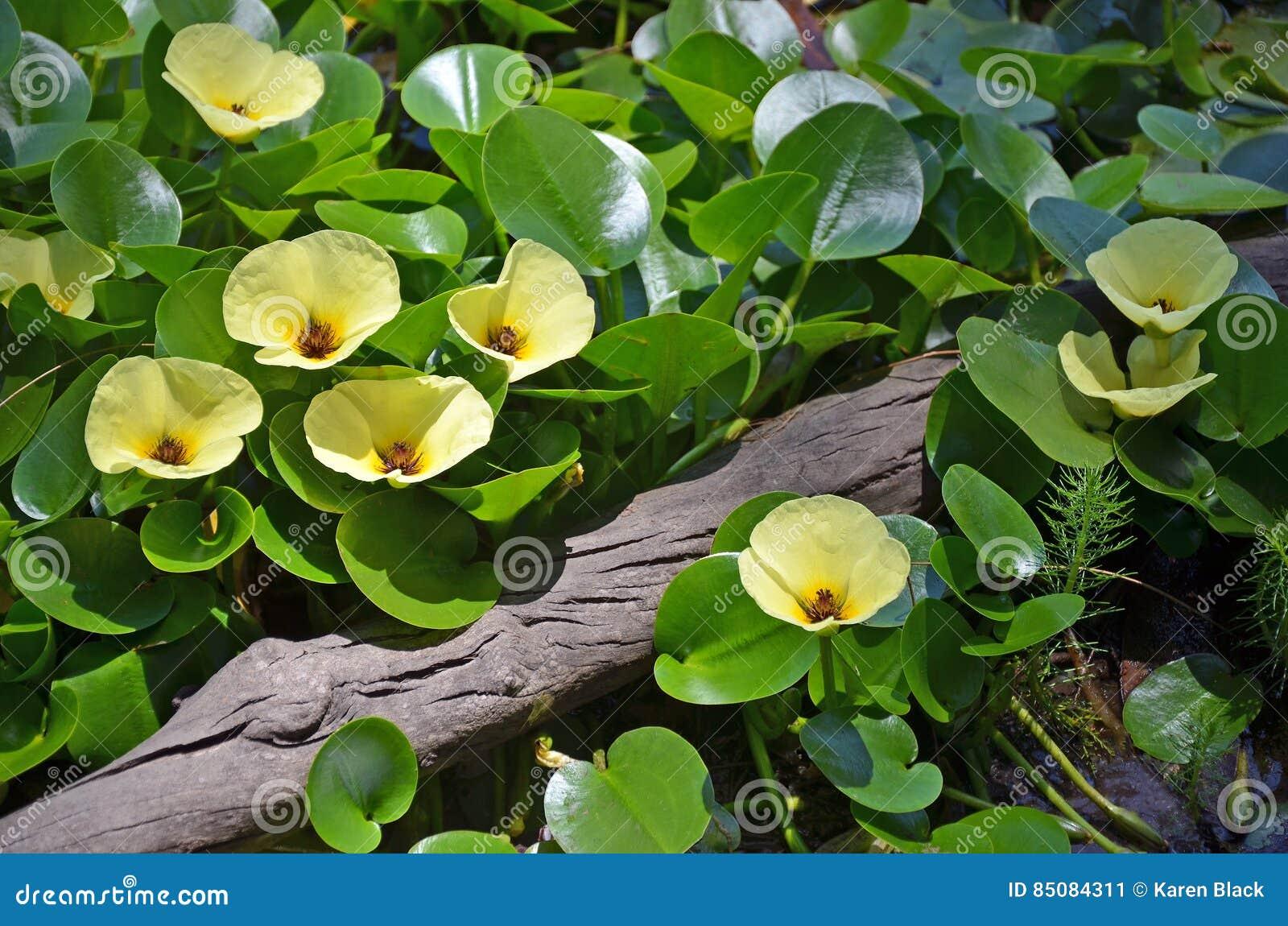 Gelbe Blumen der Wasserwassermohnblume