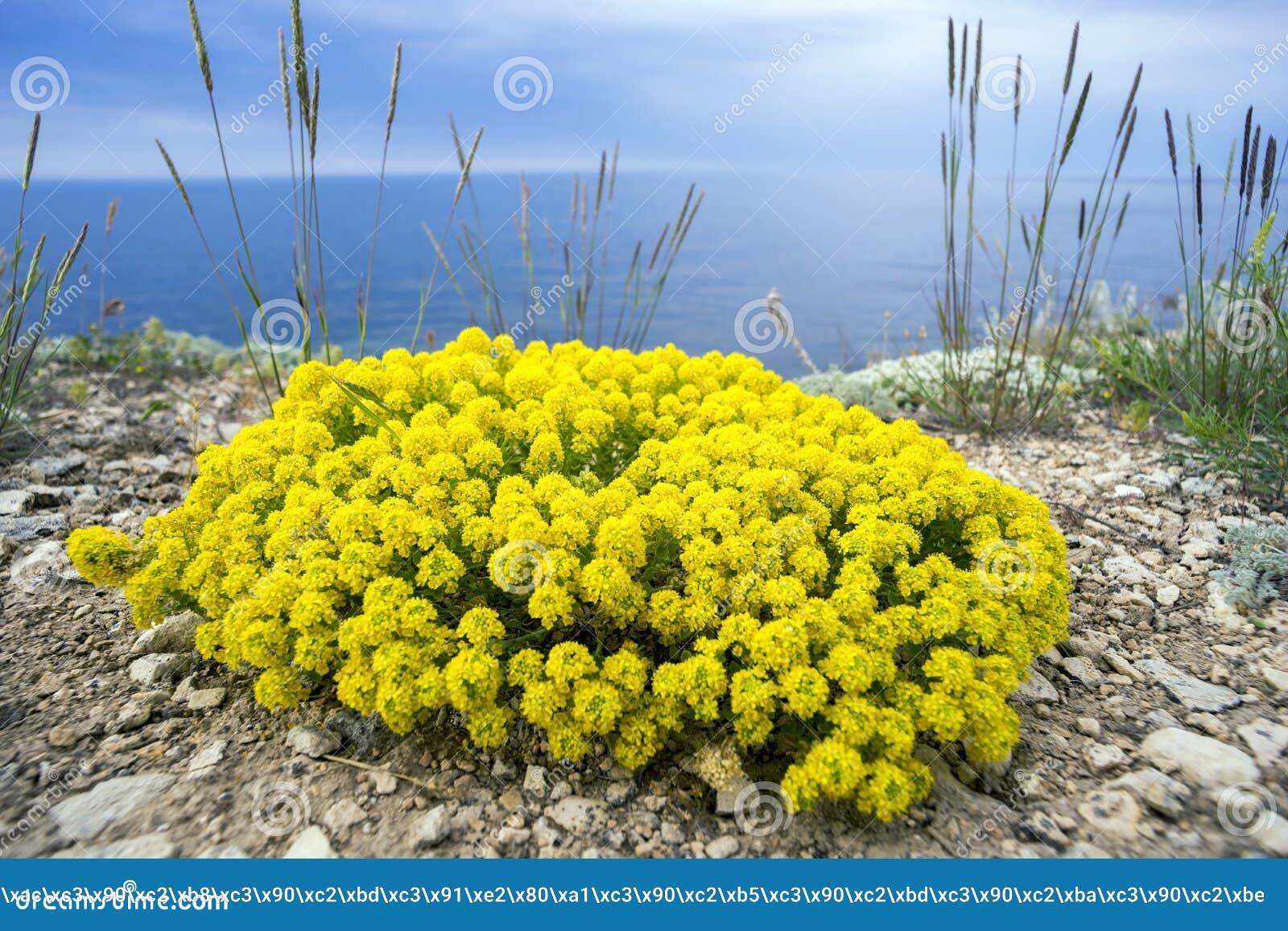 gelbe blumen des strauch alyssum stockfoto bild 60061318. Black Bedroom Furniture Sets. Home Design Ideas