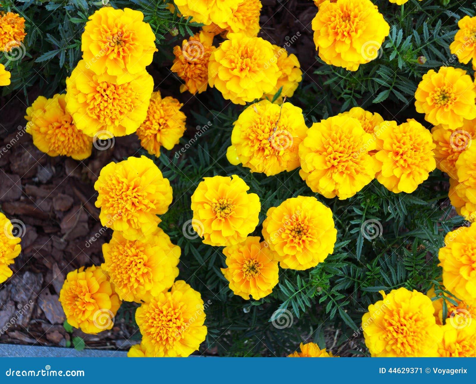 Gelbe Blumen Im Garten Ringelblume Ta es Stockbild Bild