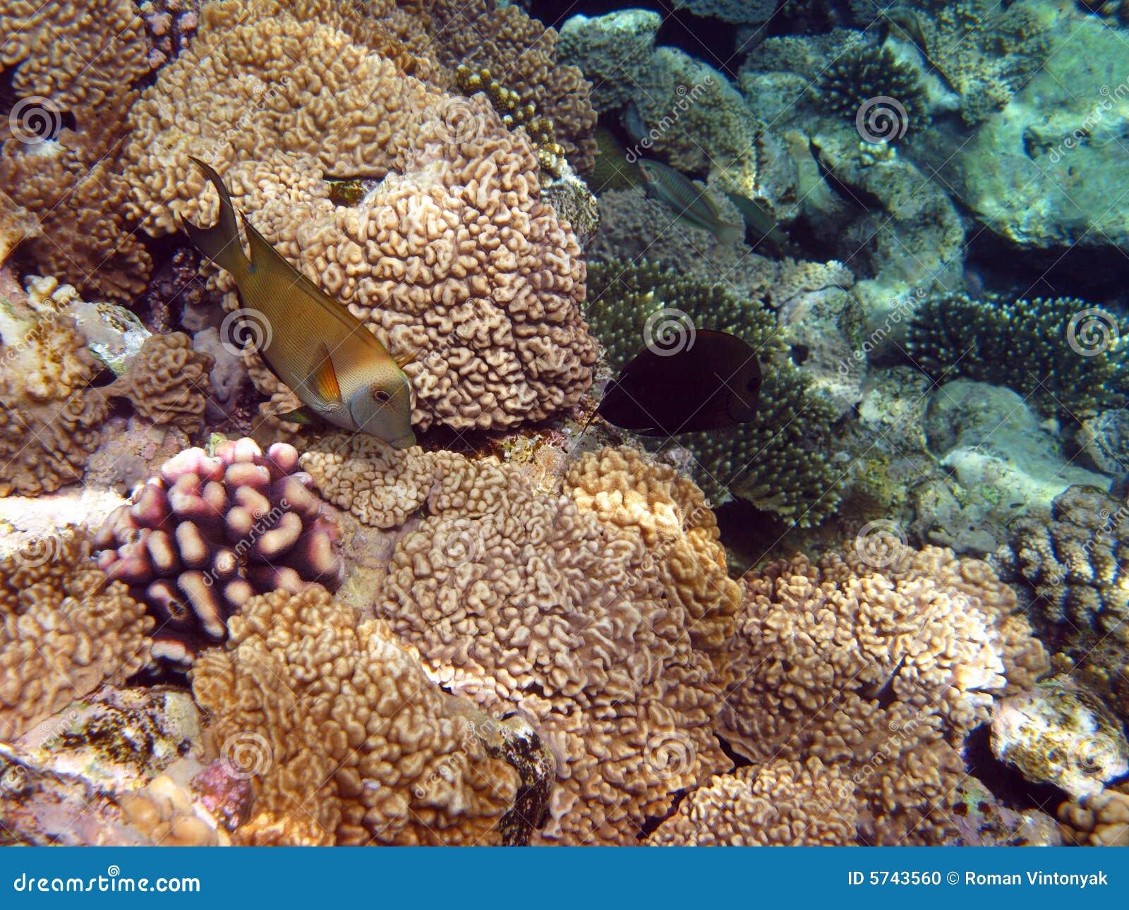 Gelbe Fische und Korallenriff