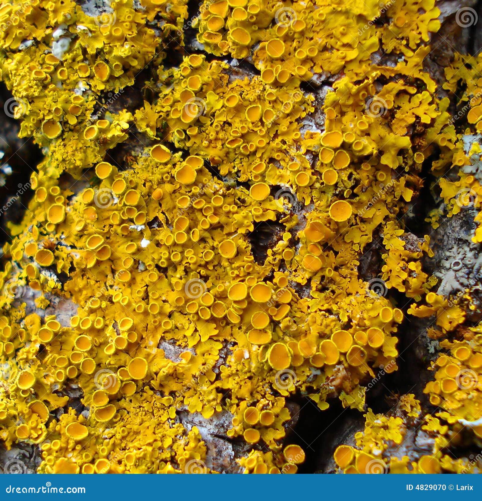 Gelbe Flechten