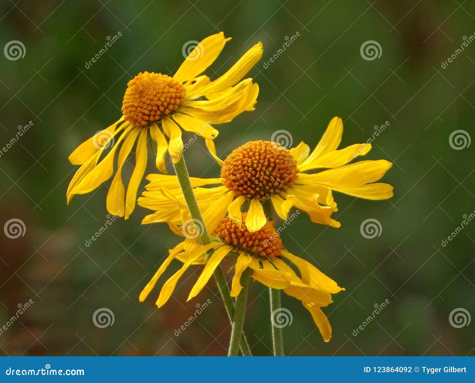 Gelbe Gänseblümchen auf Berg Lemmon in Tucson