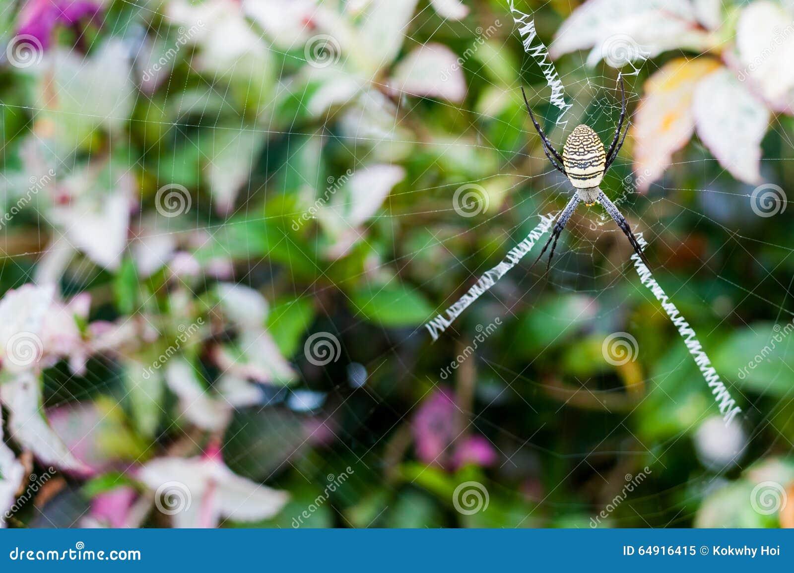 Gelbe Gartenkreuzspinne