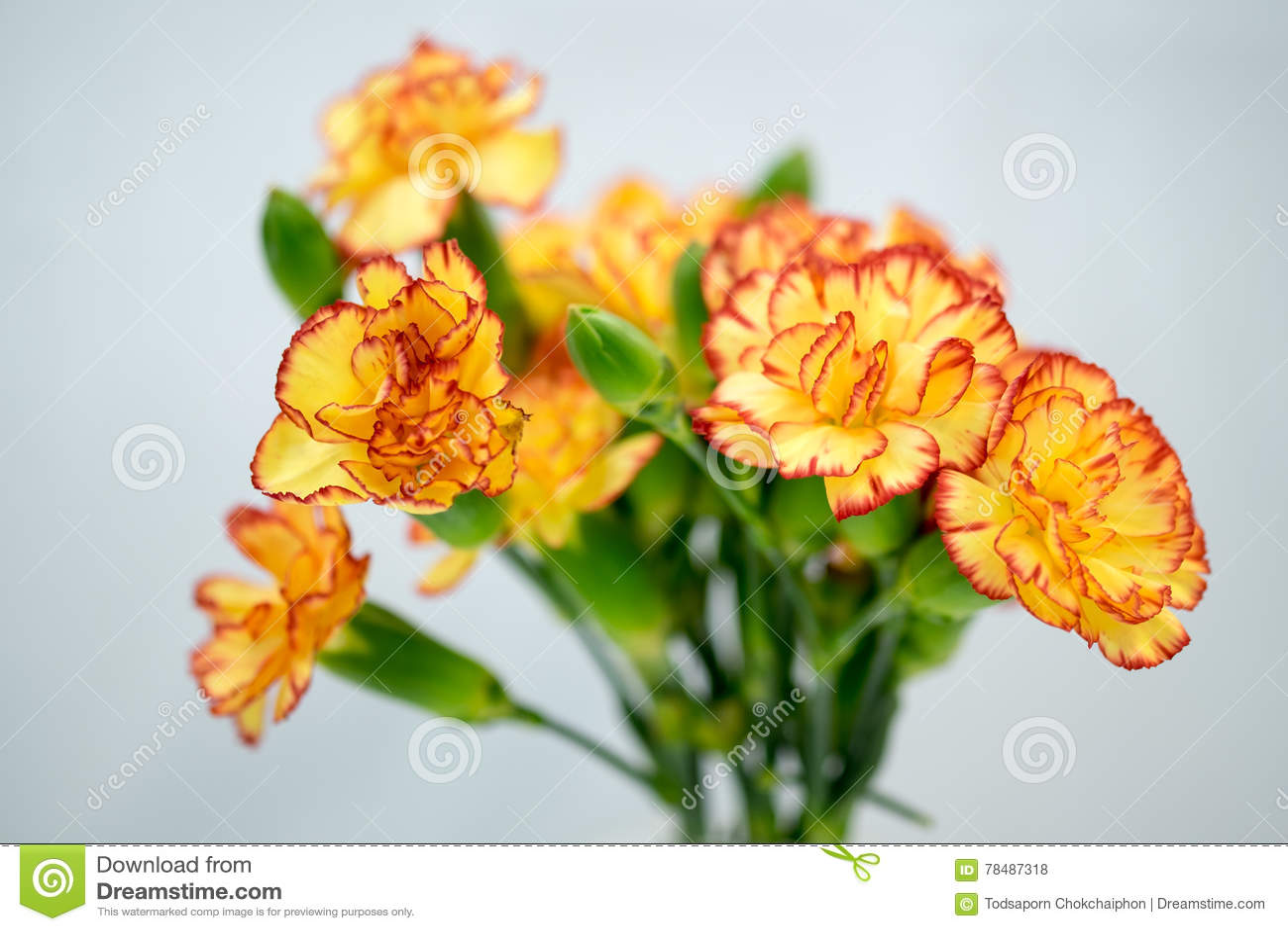Gelbe Gartennelke