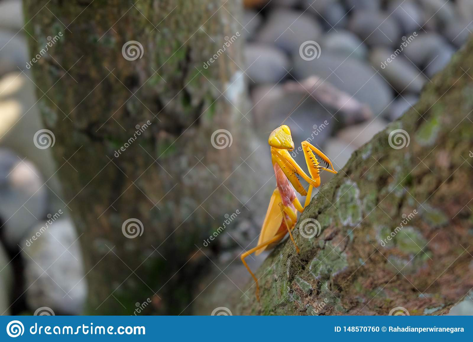 Gelbe Gottesanbeterin auf dem Baum