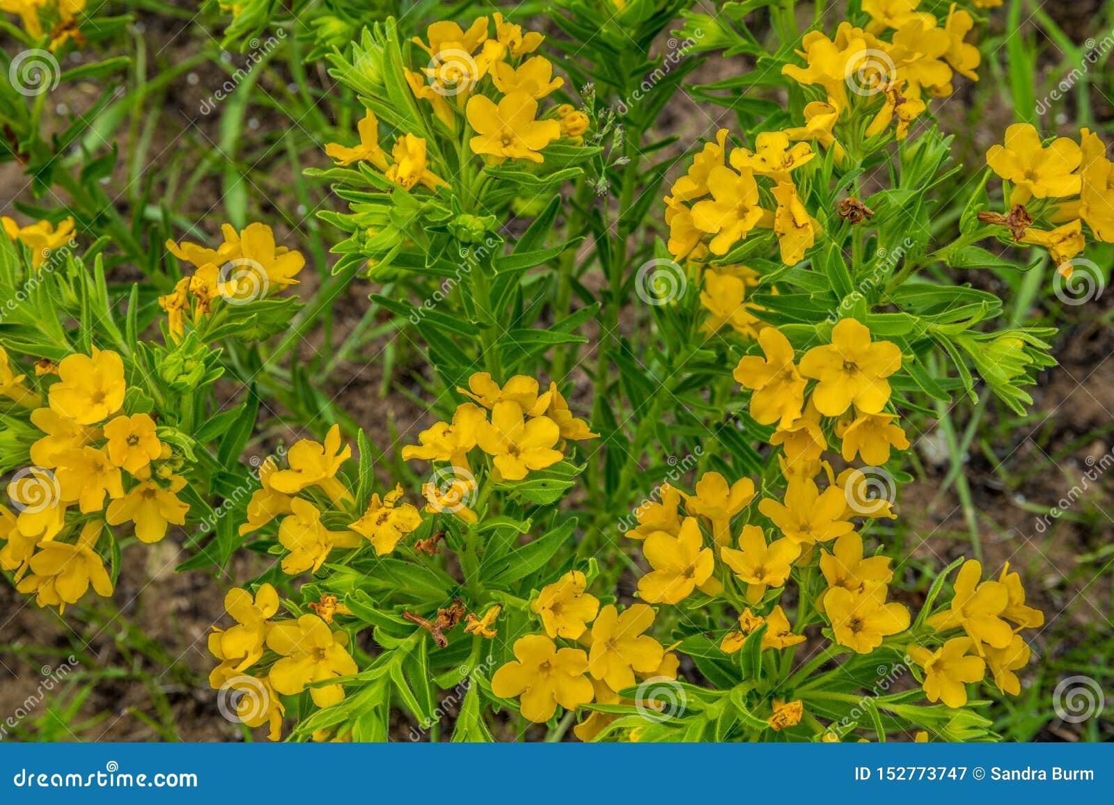 Gelbe Grasland Wildflowers, die im Frühjahr blühen
