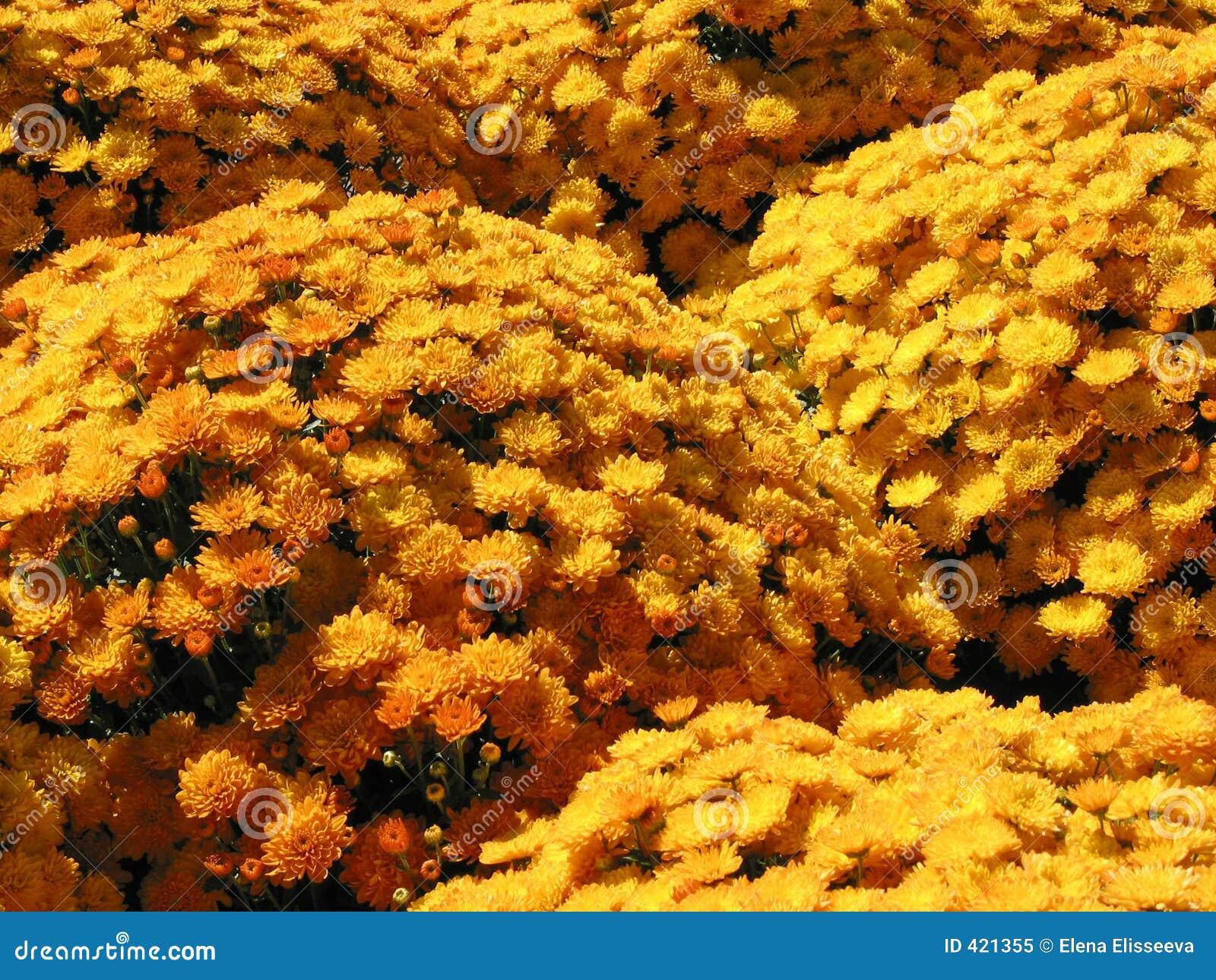 Gelbe Herbstmamas