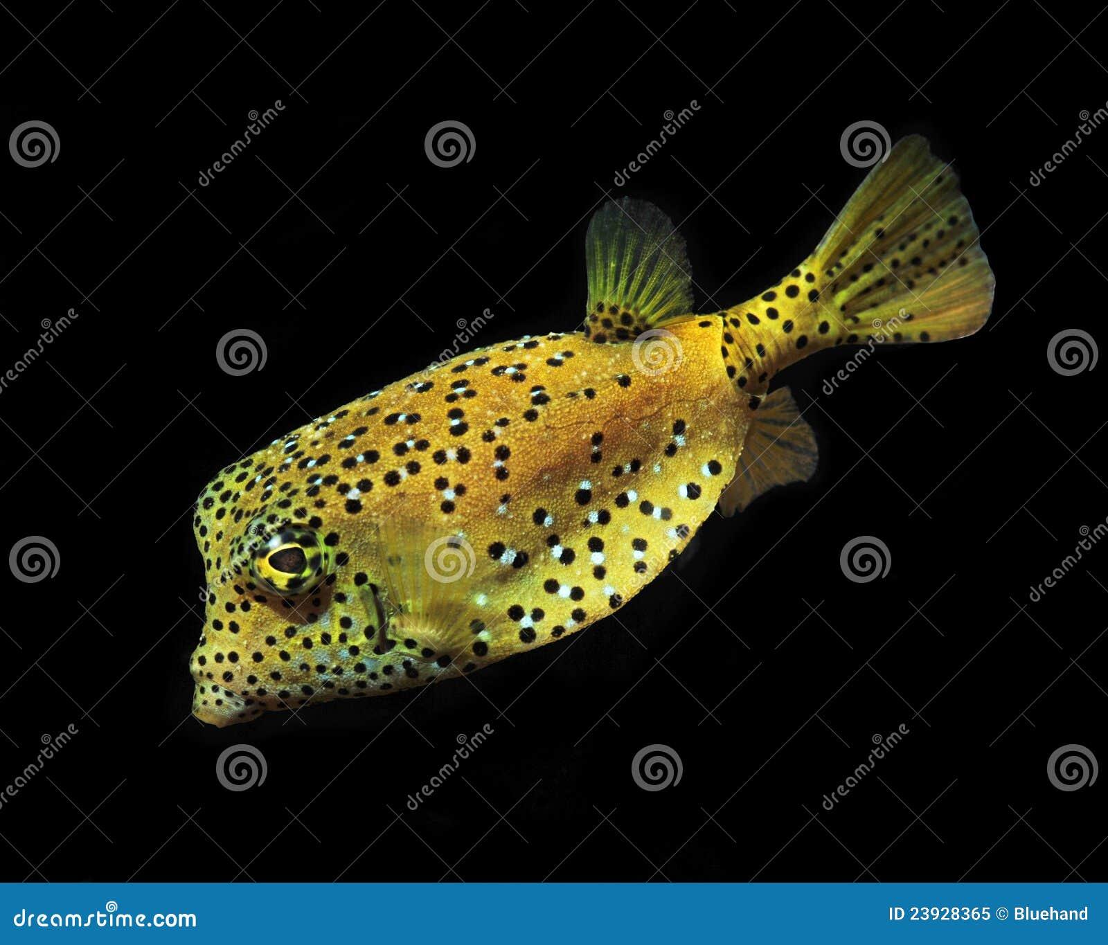 Gelbe Kastenfischpuffer-Rifffische