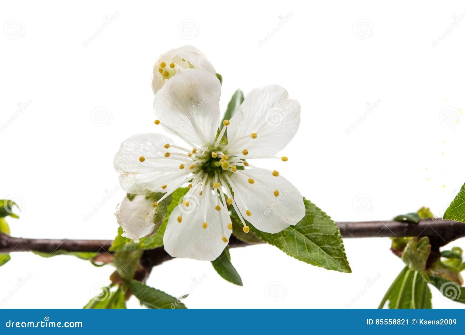 Gelbe Kornelkirsche-Blume
