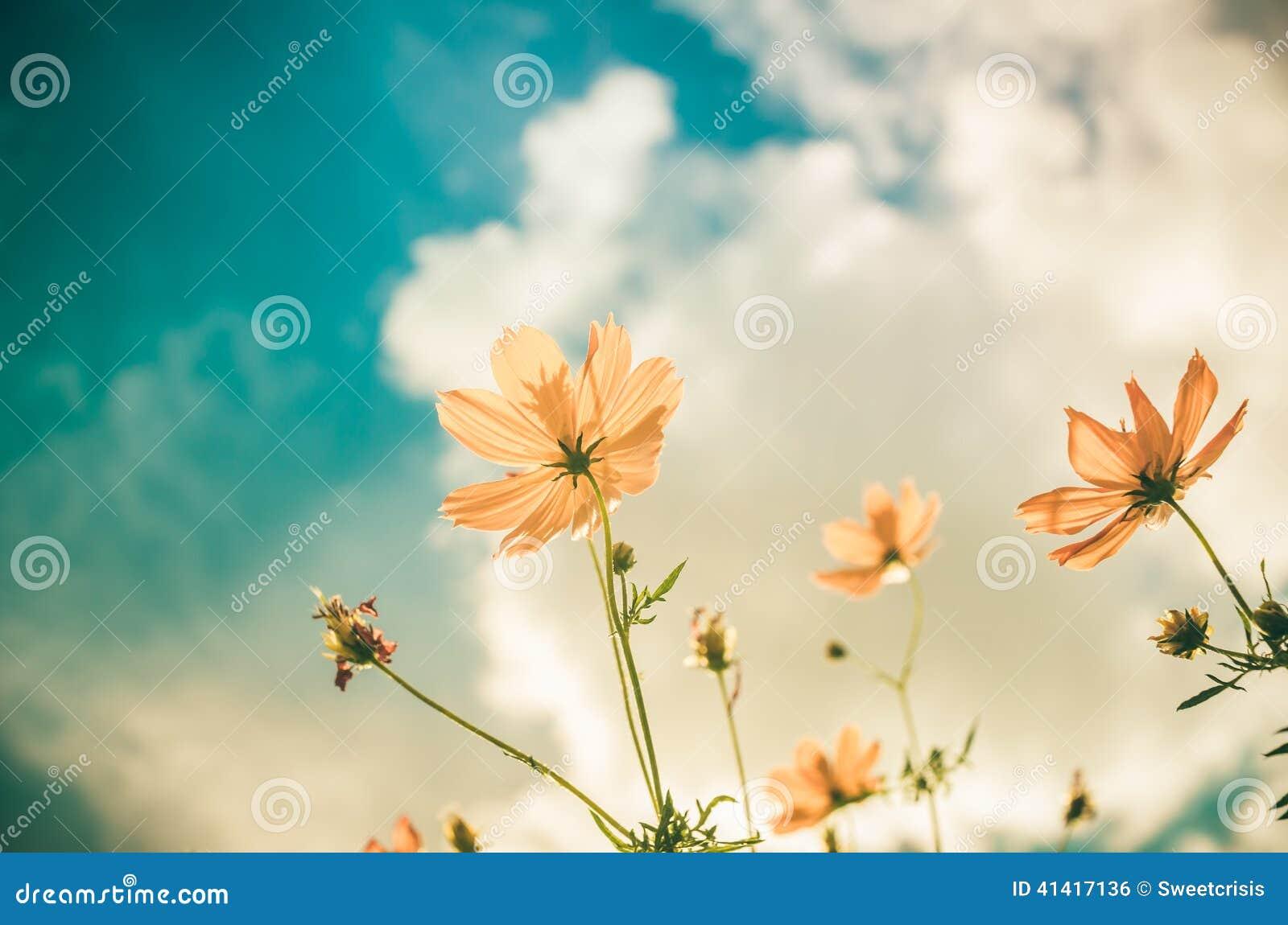 Gelbe Kosmosblumenweinlese
