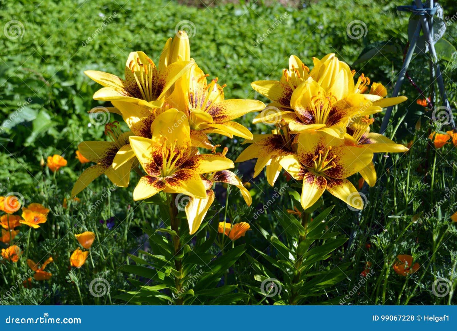 Gelbe Lilien Der Schönen Blumen Blühen Im Blumenbeet Im Garten