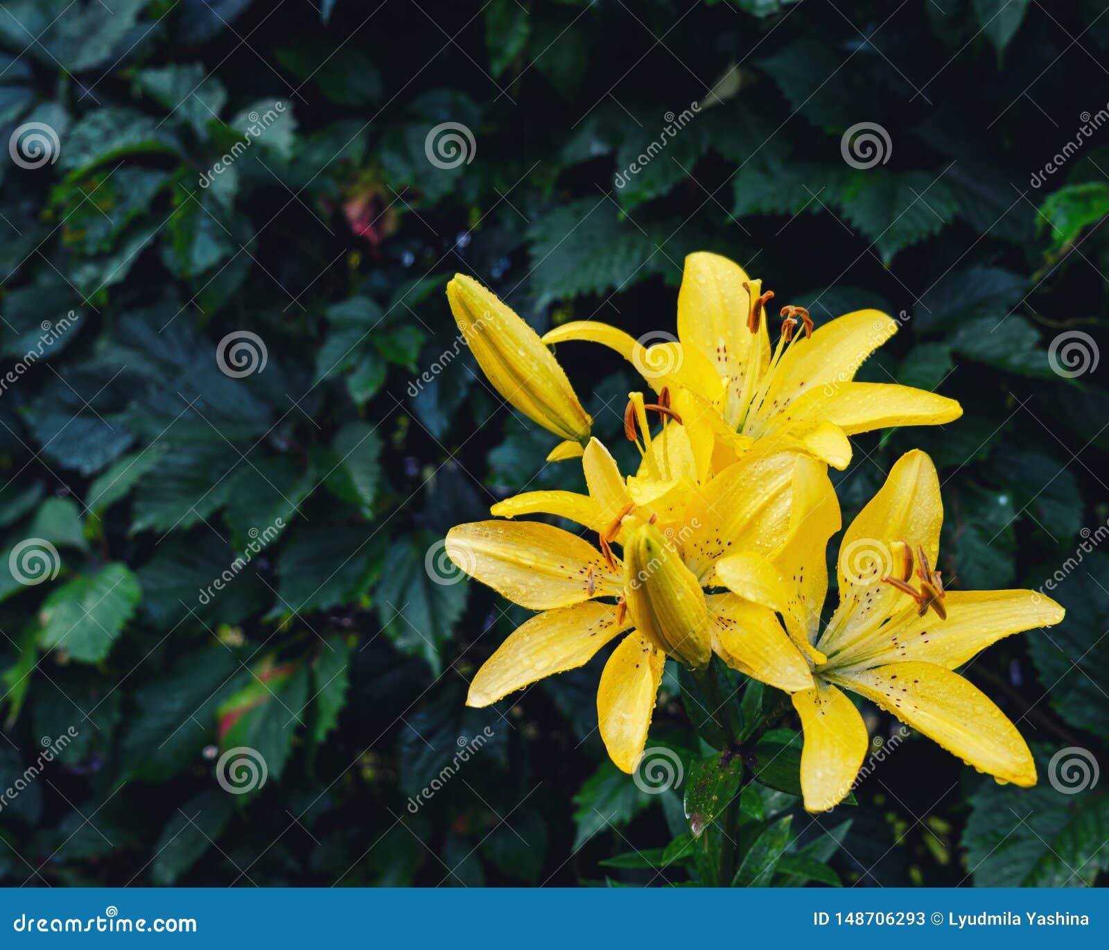 Gelbe Lilien im Garten