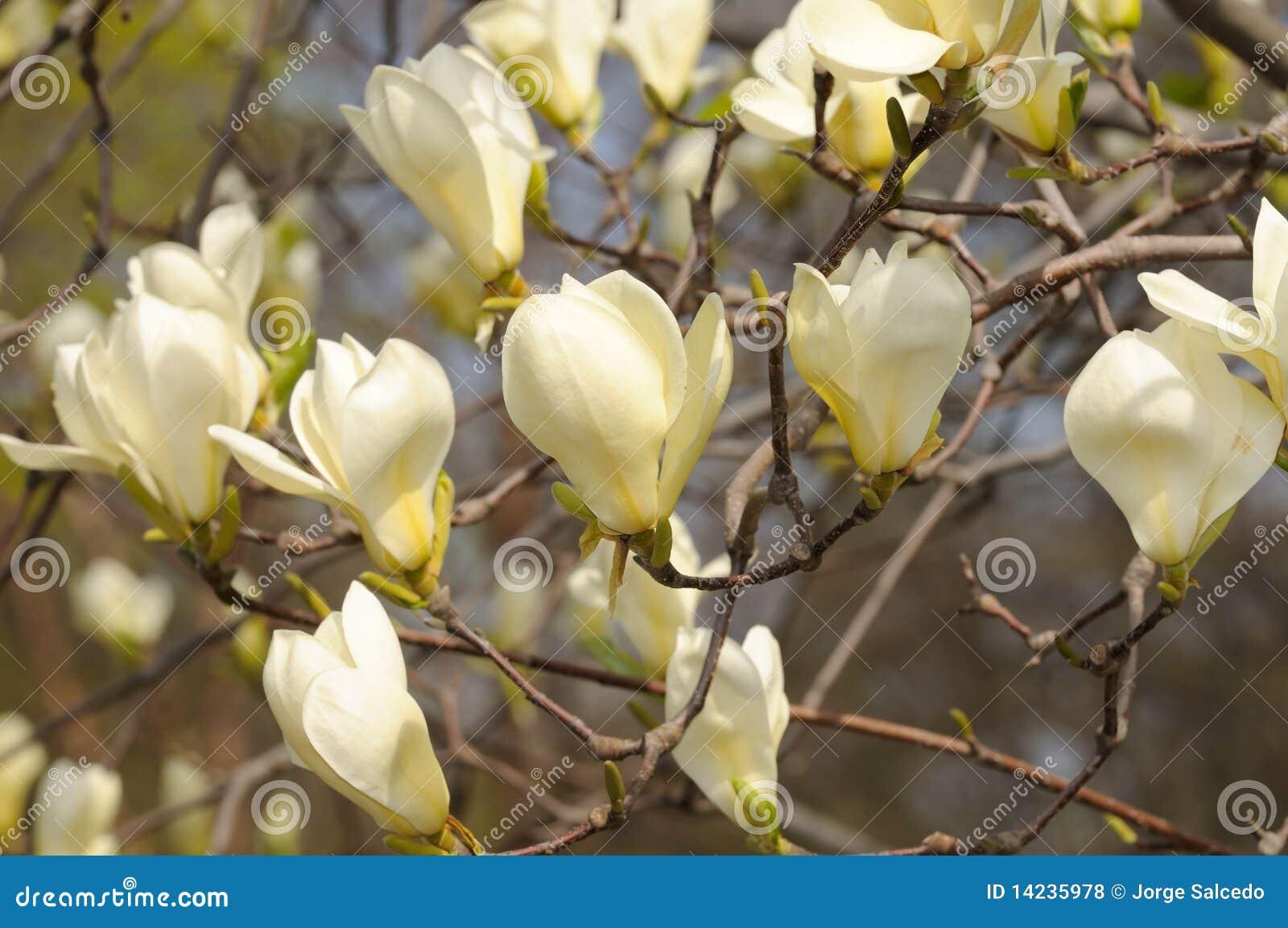 gelbe magnolie stockfoto bild von sonderkommando garten. Black Bedroom Furniture Sets. Home Design Ideas