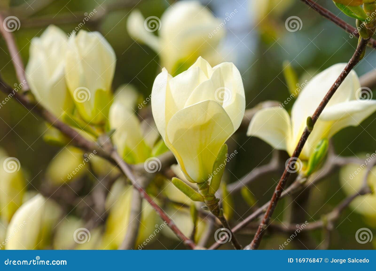 gelbe magnolie stockbild bild von mischling gartenbau. Black Bedroom Furniture Sets. Home Design Ideas