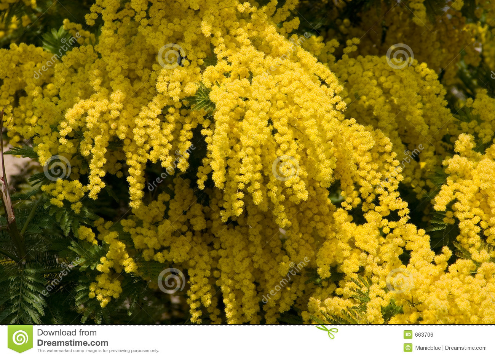 gelbe mimose stockfoto bild von gelb drau en wattle. Black Bedroom Furniture Sets. Home Design Ideas