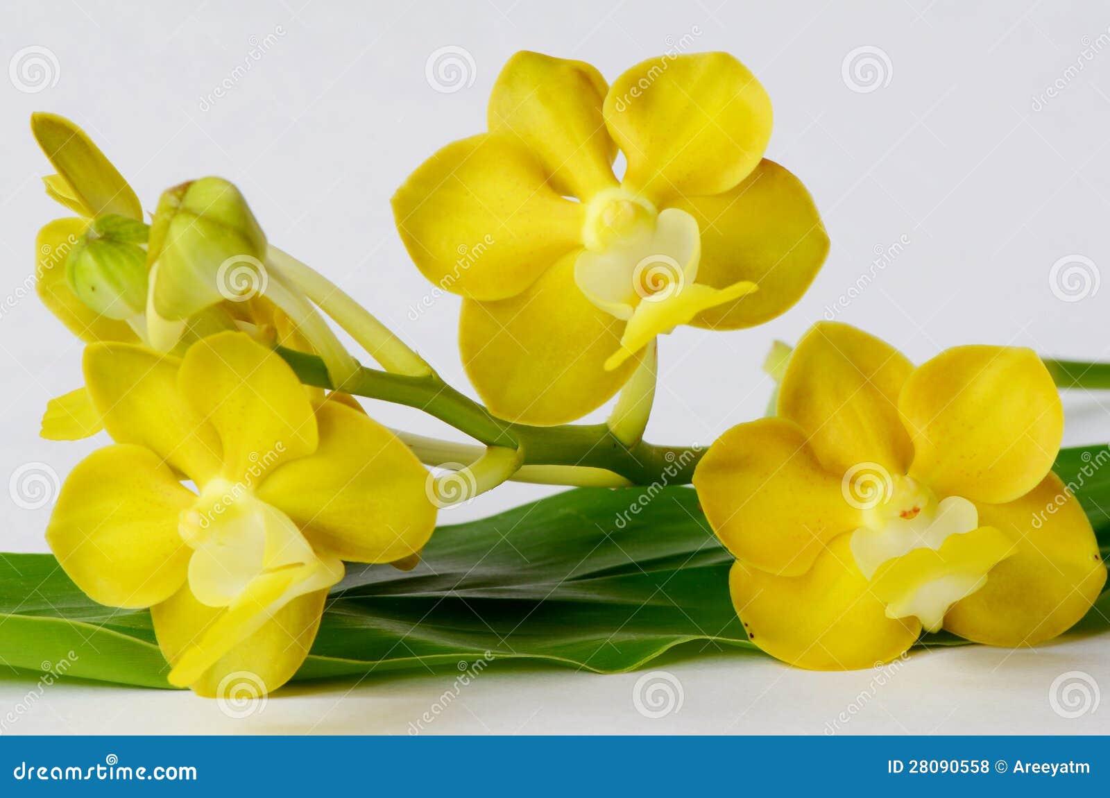 gelbe orchideen lizenzfreie stockfotos bild 28090558. Black Bedroom Furniture Sets. Home Design Ideas