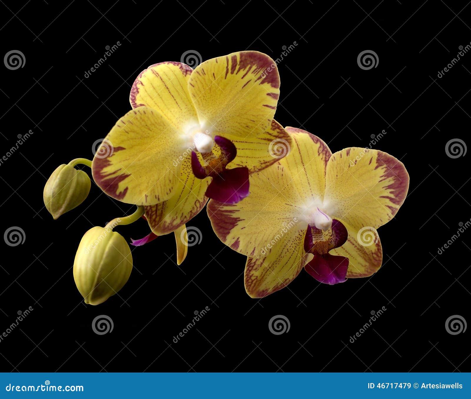 gelbe orchideen stockbild bild von knospen zweig. Black Bedroom Furniture Sets. Home Design Ideas