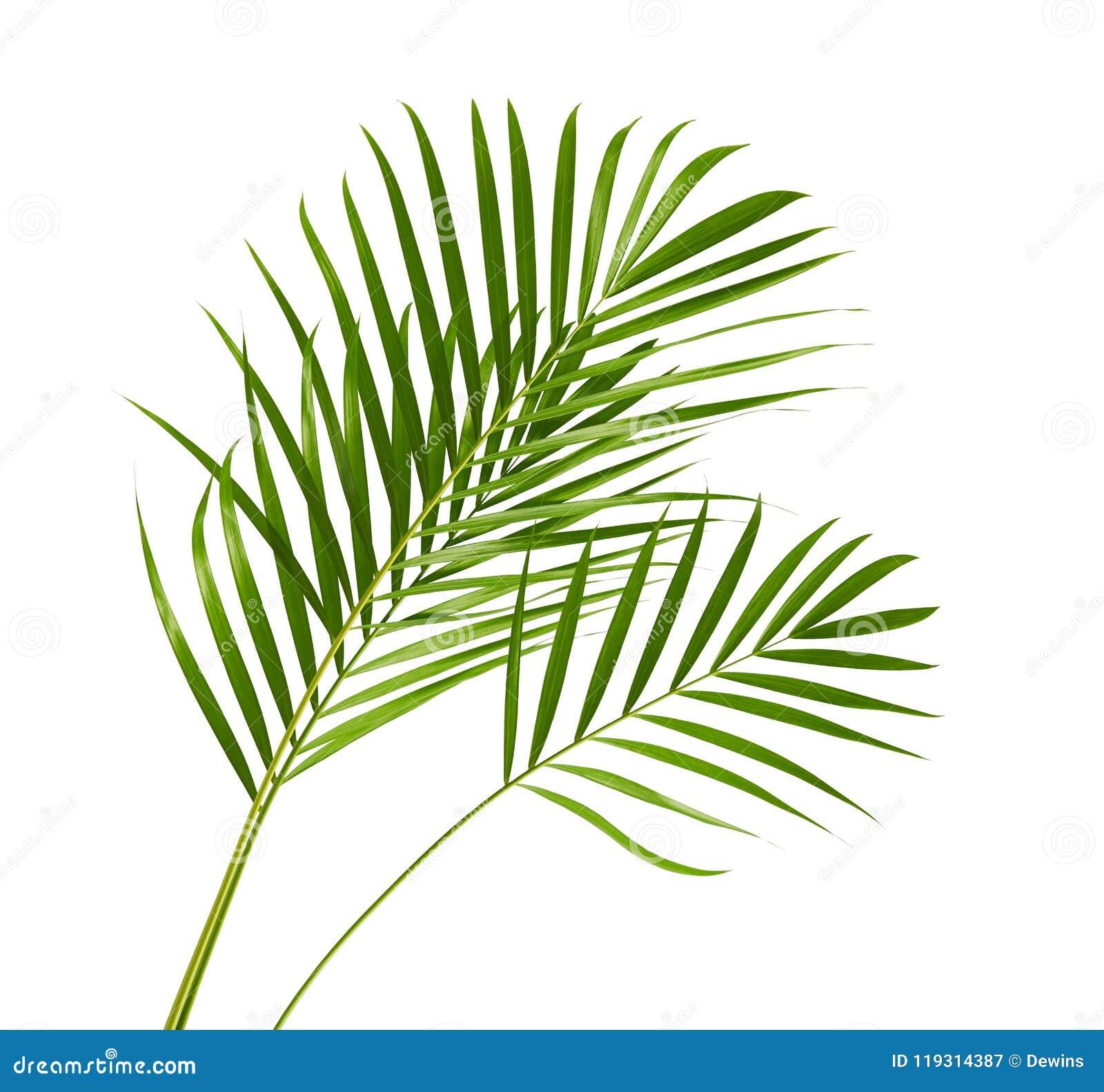 Gelbe Palmblätter Dypsis-lutescens oder goldene Stockpalme, Arekanusspalmblätter, tropisches Laub lokalisiert auf weißem Hintergr