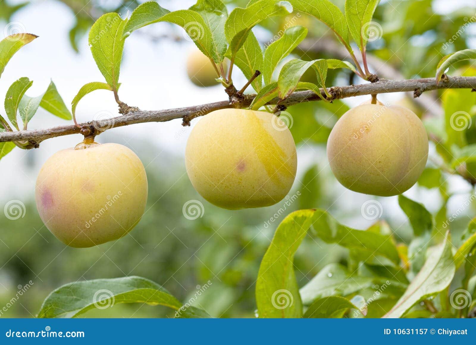 gelbe pflaumen die auf dem baum reifen stockbild bild von frucht landwirtschaft 10631157. Black Bedroom Furniture Sets. Home Design Ideas