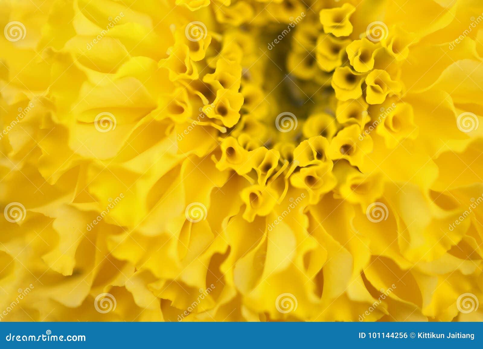 Gelbe Ringelblumenblume