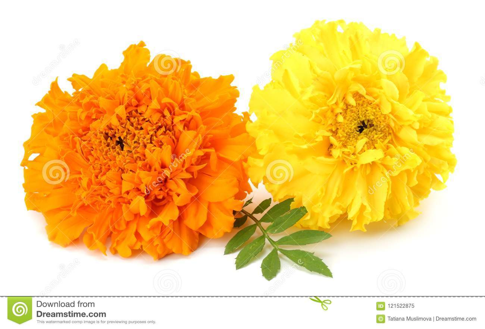Gelbe Ringelblumenblume, Tagetes-erecta, mexikanische Ringelblume, aztekische Ringelblume, afrikanische Ringelblume lokalisiert a