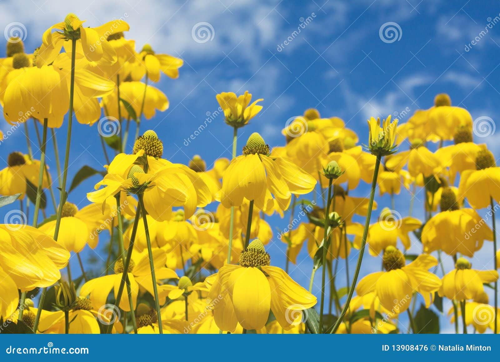 gelbe sommerblumen stockfoto bild von blumenblatt niemand 13908476. Black Bedroom Furniture Sets. Home Design Ideas